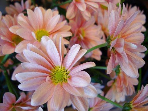可愛らしいサーモンピンクの花