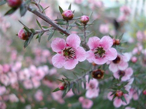 ピンク色の小さな花